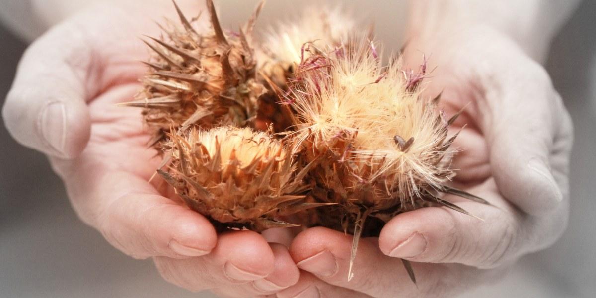 Pestrec mariánsky (Silybum marianum) -charakteristika, účinky